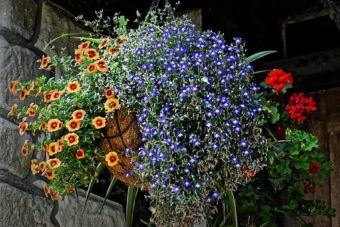 Getting the Best from your Hanging Baskets