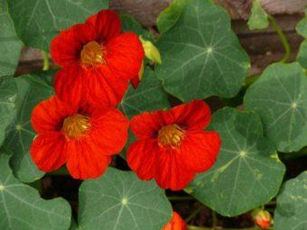 Nasturiums make an ideal trailing plant in hanging baskets