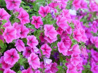 Petunia make ideal upright and trailing plants