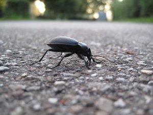 Beetles can be useful in the garden