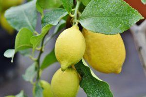 Lemons make an excellent indoor plant