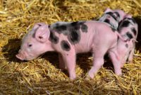 Manure from Pigs is wet but useable