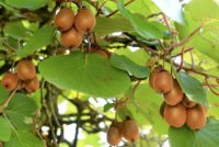 Kiwis can be quite prolific