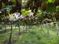 Grow kiwi as commercial growers would