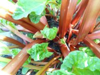 Rhubarb produce succulent stems