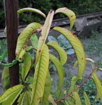 Plant showing chlorosis