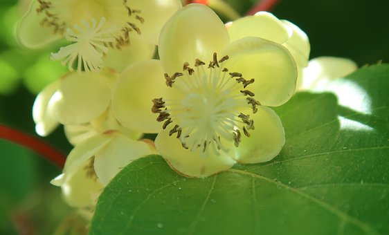 Kiwi flowers look good and smell divine.