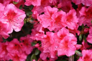 Rhododendron can severe lack iron