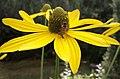 Rudbeckia lacinata
