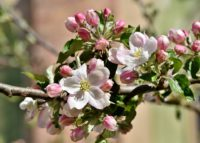 Apple trees can be grown in containers and produce good crops as well.