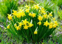 Daffodils are great in the container garden