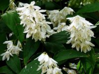 Deutzia are excellent shrubs in the garden