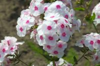 Phlox are great true perennials