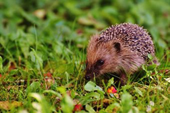 Do not forget to attract hedgehogs