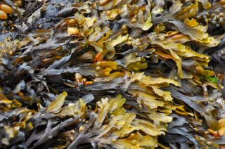 Seaweed is great in the garden.