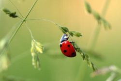 Ladybirds are aphids worst enemy.