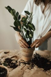 You must get used to moving a plant from one pot to another