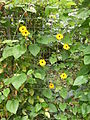 Black-eyed Susan can be grown indoors as well