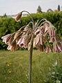 Nectaroscordium siculum