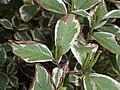 Weigela florida variegata