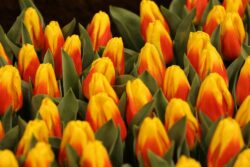 It will not be a spring garden without tulips
