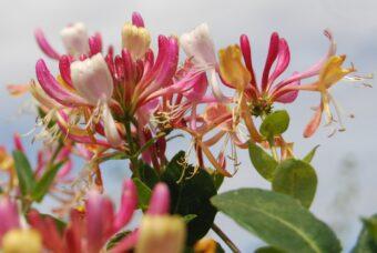 Growing Honeysuckle in Containers