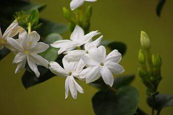 Growing Jasmine in Containers-How to Grow this Scented Climber?