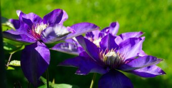 Growing Clematis in Containers-Growing the Versatile Climber