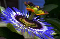 Passionflowers are attractive plants