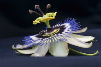 Passionflower feature