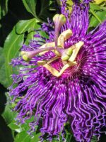 Passionflowers come in many colours including purple