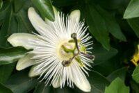 White Passionflower