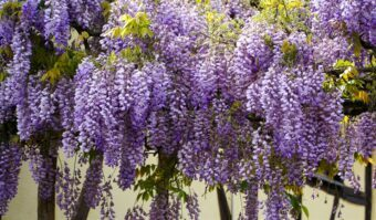 Growing Wisteria in Containers- Growing this Beautiful Climber