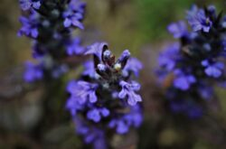 Ajuga does well in the shade