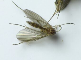 Fungus gnats are a serious pest.