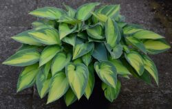 Hostas do well in the shade