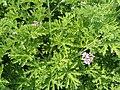 Pelargonium graveoleons