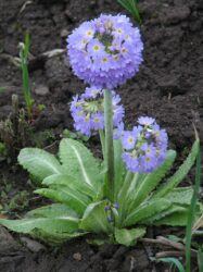 Drumstick primulas are great in container displays in the shade.