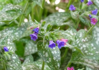 Pulmonaria does well in the shade