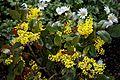 Mahonia aquilfolium 'Apollo'