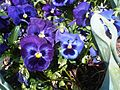 Pansies will suit many container displays