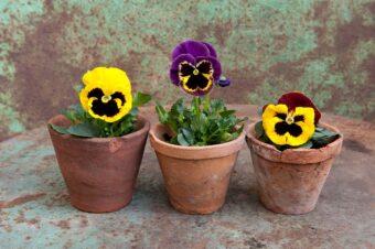 Pansies in Pots- Creating a Simple Display