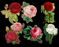 Rose bring so much joy to the garden