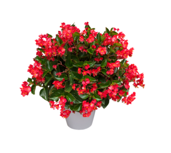 Begonia as a Houseplant- Growing this Colourful Plant