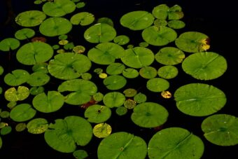 Creating a Miniature Water Lily Pond in a Half-barrel