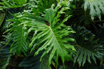 How to Grow and Get the Best from your Philodendrons