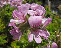 Scented leaved pelargoniums