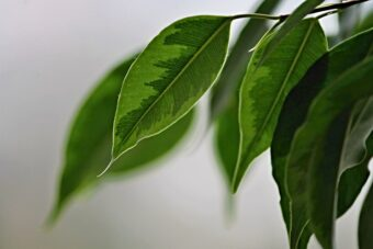 How to Grow and Get the Best from your Ficus