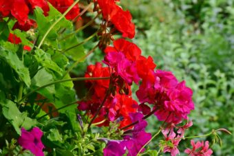 How to Grow and Get the Best From your Indoor Pelargoniums