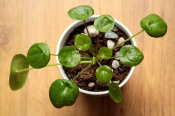 How to Grow and to Get the Best from your Pileas